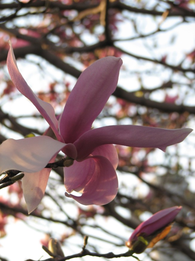 pink-treeclose